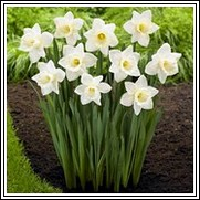 Buy Mount Hood Daffodil Bulbs