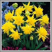Buy Rip Van Winkle Daffodil Bulbs
