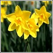 Buy Sweetness Daffodil Bulbs