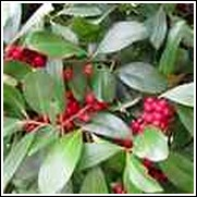 Dahoon Holly Shrub