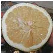 Duncan White Grapefruit