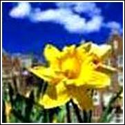 Dutch Master Daffodil Bulb