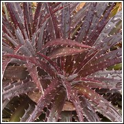 Grape Jelly Dyckia