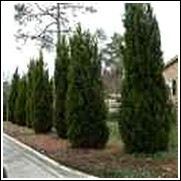 Emerald Green Arborvitae Shrub