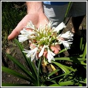 Getty White Agapanthus Bulb