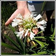 Getty White Agapanthus Bulb