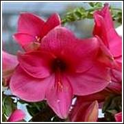 Adele Amaryllis Bulb
