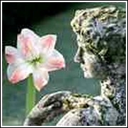 Aphrodite Amaryllis Bulb