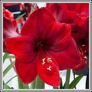 Carmen Amaryllis Bulb