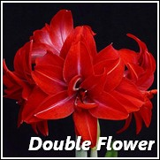 Double Delicious Amaryllis Flower Bulb