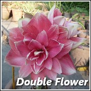 Double Dream Amaryllis Flower Bulb