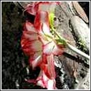 Double Picotee Amaryllis