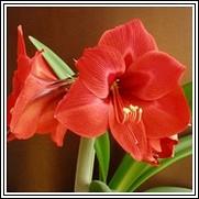 Floris Hekker Amaryllis Bulb