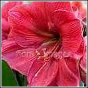 Hercules Amaryllis Bulb