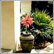 Lady Jane Amaryllis Bulb