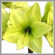 Lemon Lime Amaryllis Bulb