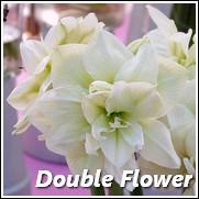 Marilyn Amaryllis Flower Bulb