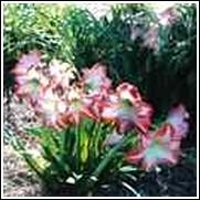 Minerva Amaryllis Bulb