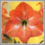 Nagano Amaryllis Bulb