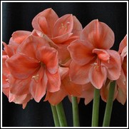 Peach Melba Amaryllis Flower Bulb