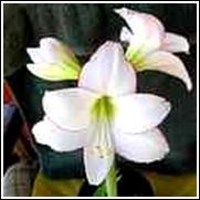 Picotee Amaryllis Bulb