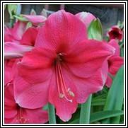 Pink Surprise Amaryllis Bulb
