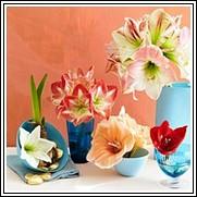 Potpourri Amaryllis Flower Bulb