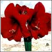 Red Lion Amaryllis Bulb