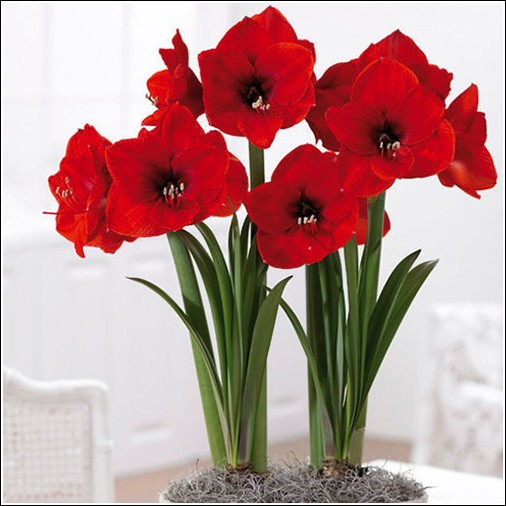Buy Red Lion Amaryllis Bulb From Ty Ty Nursery