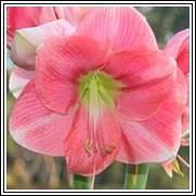 Rosalie Amaryllis Bulb