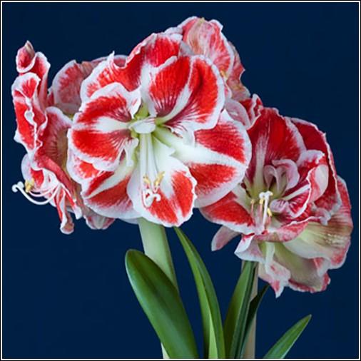 Amaryllis Bulbs | Dutch Flower Bulbs at wholesale prices