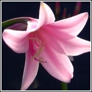 Pink Cloud Crinum