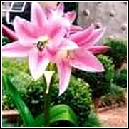 Wine On Pink Crinum