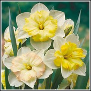 Daffodil Changing Colors Bulbs
