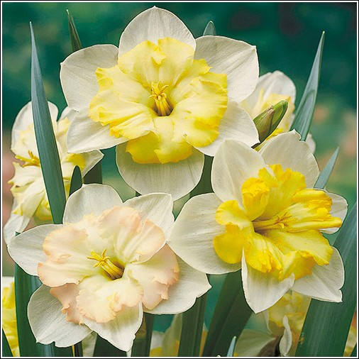Changing Colors Daffodil Bulbs For Sale Buy Daffodil