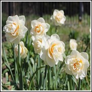 Gay Tabor Daffodil Bulbs