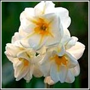 Buy Sir Winston Churchill Daffodil Bulbs