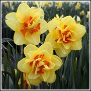 Tahiti Daffodil Bulbs