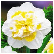 White Lion Daffodil Bulbs