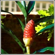 Red Pine Cone Ginger