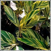 Variegated Alpinia Ginger
