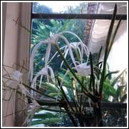 Riparia Hymenocallis