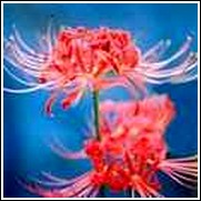 Lycoris Bulbs