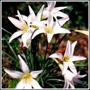 Atamasco Rain Lily