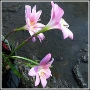 Grandiflora Rain Lily
