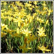 Yellow Rain Lily