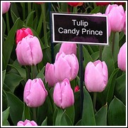 Buy Candy Prince Tulip Bulbs