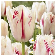 Buy Carrousel Tulip Bulbs