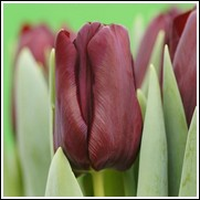 Buy Mascara Tulip Bulbs