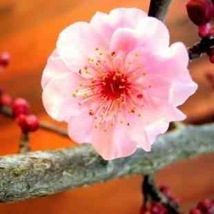 Buy Pink Cloud Flowering Cherry Tree Pink Cloud Flowering Cherry